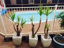 Yukkas plants in pots Rutherford Maitland Area Preview
