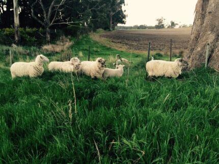 Sheep/lambs