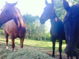 Two mares for free lease