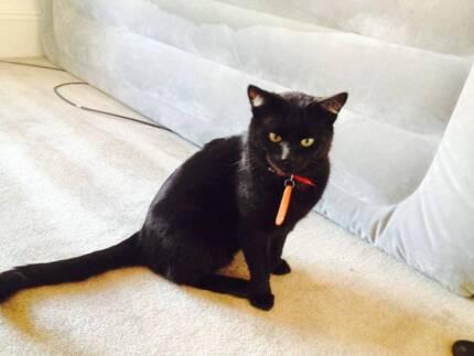 Male - Rescued Cat - CAT RESCUE NEWCASTLE Wickham Newcastle Area Preview