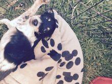 Maltese X mini fox terrier Ingleburn Campbelltown Area Preview