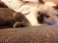 Birman Seal Point Ragdoll kitten ready for foreverhome now. Happy, sociable, blue eyed indoor cats
