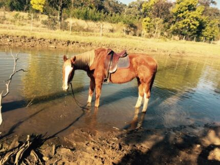 Hamza beautiful beginners horse   Padstow Heights Bankstown Area Preview