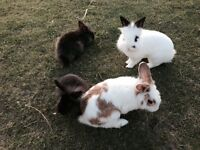 4 bunnies for sale