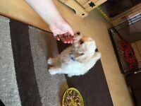 Poochon pups (poodle x bichon)