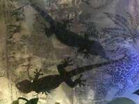 Two Tokay geckos for sale