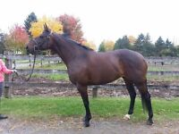 Gorgeous homebred Thoroughbred mare for sale