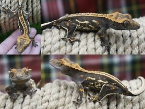Pinstripe Crested Geckos (CHRISTMAS SALE!)