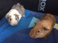 2 male baby guinea pigs looking for forever homes!