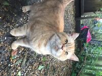 Rare BSH red black tipped & spotted female 2.5 years