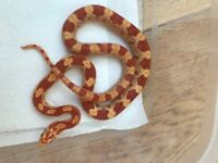 6months old beautiful corn snakes for sale
