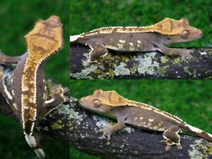 Two Young Crested Geckos ($120 sold together)