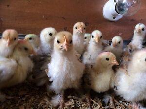 Millefleur Pekin Chicks / Bantam Chickens Logan Village Logan Area Preview