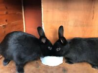 Two female Rabbits and hutch