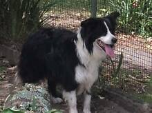 Border Collie Male Desexed Pure Bred Long Coated For Sale Taree Greater Taree Area Preview