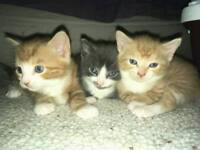 2 ginger and 1 grey kittens for sale