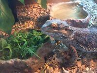 Bearded dragon & 4ft vivarium