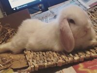 Mini Lop Bunny with Cage, Carrier and Extras