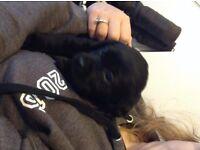 Labrador x pups