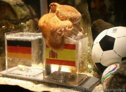 paul-the-octopus-picks-spain-over-german