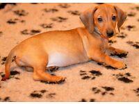 Miniature Dachshund females