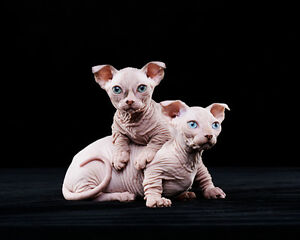 chatons Sphynx Skinderlop très rare !!!