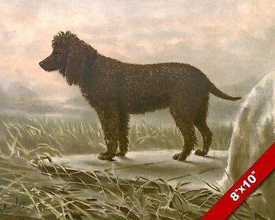 INQUISITIVE IRISH WATER SPANIEL PET PUPPY DOG ART PAINTING PRINT ON REAL - Water Spaniel Dog Art