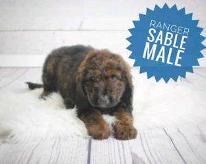 Doodle Puppy | Kijiji in Alberta  - Buy, Sell & Save with
