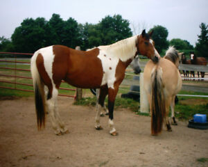 15 yr old   15 .2 lovely paint mare lovely mannered