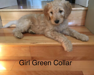 Goldendoodle Puppies Ready To Go!