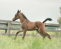 Purebred Arabian Weanling Colt - Show/Riding/Breeding Prospect