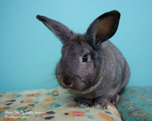 Rabbit Up For Adoption By Rescue