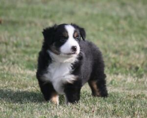 Registered Miniature Australian Shepherd Puppies