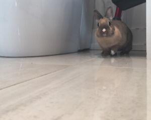 Rare Cute as a Button Harlequin Netherland Dwarf Rabbit Bunny