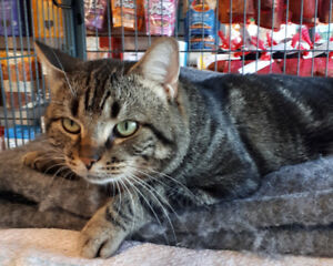 Behr - rescued brown tabby male for adoption