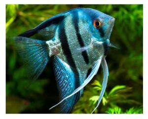 angel fish to BUY from you