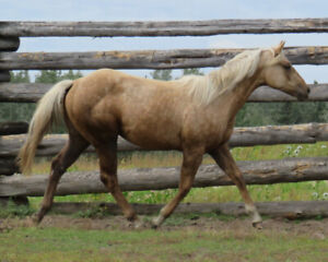 Fancys Sugar King 2018 Palomino Filly for Sale:
