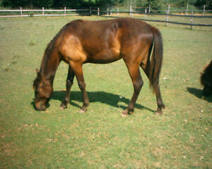 yearling gelding exceptional temperment appy cross