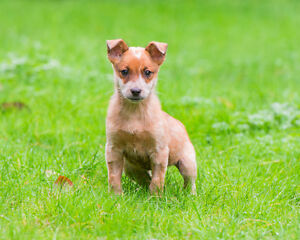 Puppy | TRAINED | Australian Cattle Dog