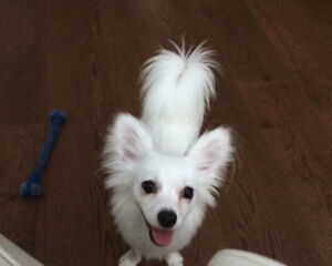 Adorable Papillon  Dog