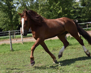Cheval welsh 3 1/2 ans 15m