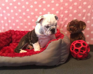 Adorable Registered Bulldog Puppies