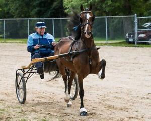 Registered Hackney Pony Gelding