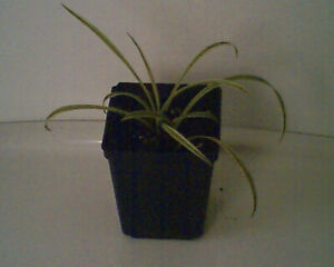 Spider Plant   - For cleaner air
