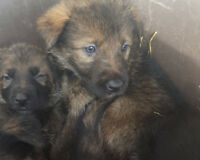Shepherd X puppies looking for a good home