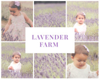 Lavender farm mini photography sessions