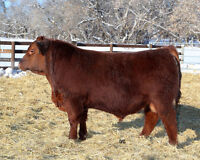 Wheeler's Stock Farm Bull & Female Sale - March 12th