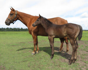 Horses, Ponies for Sale or Adoption in British Columbia | Kijiji