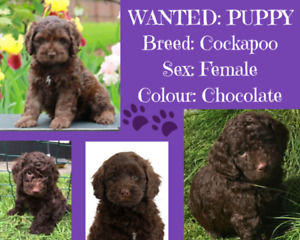 Wanted: Female Cockapoo Puppy