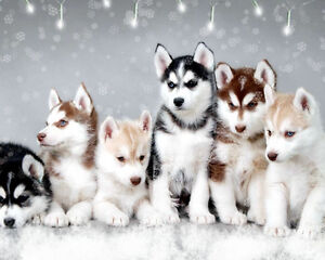 Looking for Husky puppy